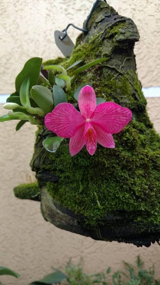 """Sophronitis wittigiana  """"Planta nativa do Brasil, essa orquídea aprecia clima intermediário a frio, pode ser cultivada em vasos com substrato bem drenado ou preferencialmente em cascas de peroba ou nó de pinho Aprecia bastante claridade e regas frequentes, também deve-se utilizar um bom adubo foliar semanal para garantir boas floradas."""""""