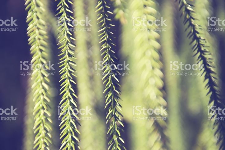 Abstract Pine Tree Needles in Differential Focus royalty-free stock photo