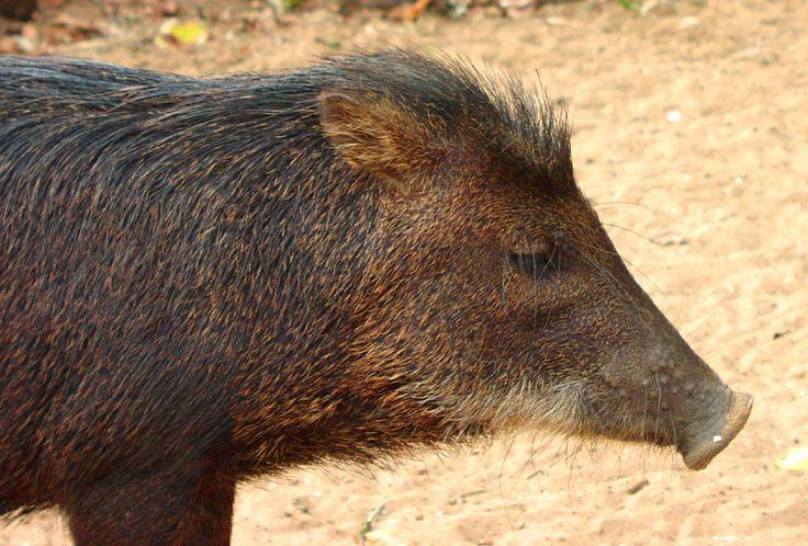 Suriname. Pingo's: the Surinamese wild boar.