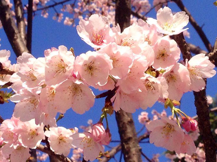 早咲きの桜のある公園。元小学校。