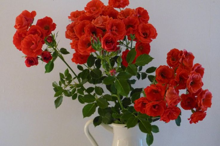 Rózsa a lakásban