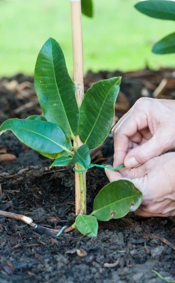 In der Baumschule wird der Rhododendron durch Stecklinge oder Veredlung vermehrt. Im Garten kann man sich aber auch mit einer einfachen und bewährten Methode behelfen: der Vermehrung durch Ableger.