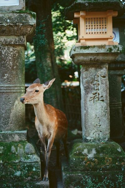 The deer at this park are extremely tame, and extremely adorable. Apparently if you buy deer biscuits they'll mob you! // Deer park in Nara, Japan