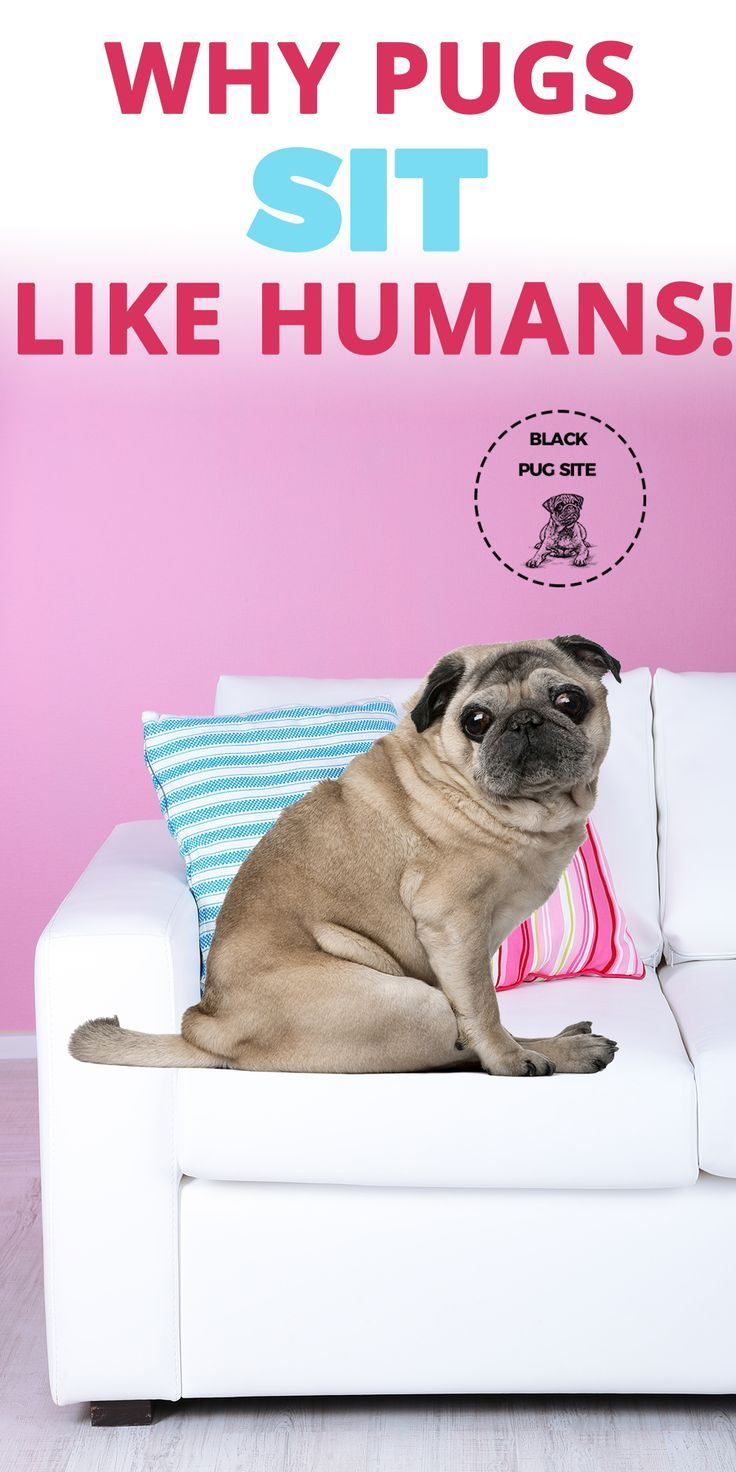 Why Pugs Sit Like Humans And What It Actually Means Pugs