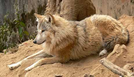 Himalayan Wolf (Canis (lupus) himalayensis) - while some experts have proposed the Himalayan Wolf represents a distinct species from the Gray Wolf (Canis lupus), and DNA-analysis does indicate they are phylogenetically different from Tibetan Wolves (Canis lupus chanco), the general consensus remains that they are a subspecies of Gray Wolf.