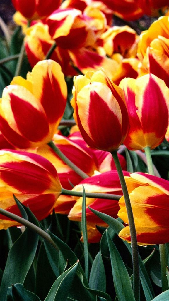 https://flic.kr/p/nSFqGT | tulips_flowers_colorful_drop_freshness_greenery_flowerbed_34919_640x1136