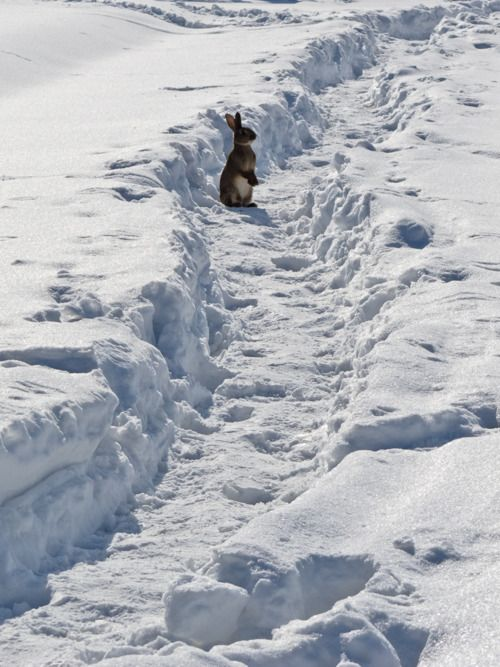 Hopping down the snowy trail.  Easter 2013 is in March. This is how the Bunny may encounter it. ;-)