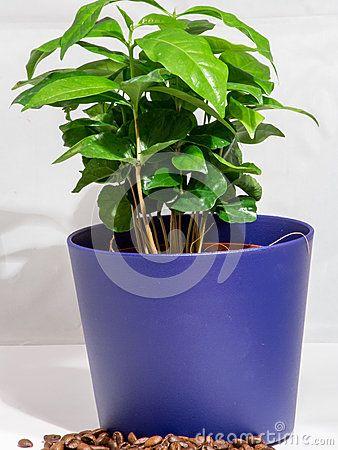 Kleine Topfpflanze des Kaffeebaums A lokalisiert auf Weiß