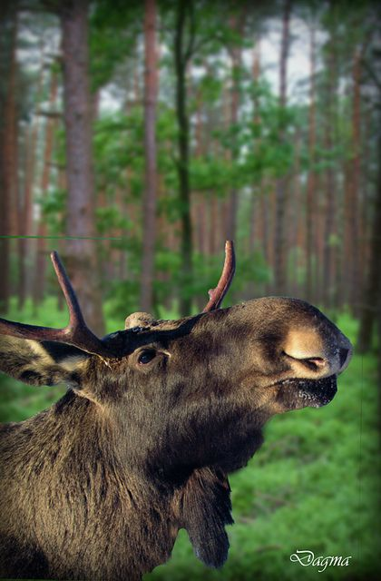 Moose in Smalandet Sweden. by dagmaf, via Flickr
