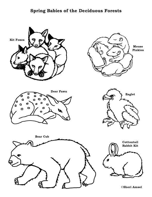 Baby Animals Of The Deciduous Forest Coloring Page Animal Coloring Pages Coloring Books Animal Coloring Books