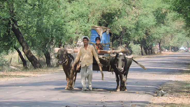 Bullock cart is still important mode of transport from many villages who rely on their beast not only to get around but also use them in ploughing fields and carry load.  #bullock #cart #rural #central #India #culture #photography #village