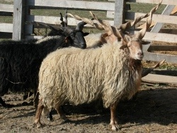 """This special sheep that can not be matched with any other in the world is mainly bred around Debrecen,on the Hortobágy and the Kiskunság. It is hard to believe,but,as all domesticated sheep, the Racka also derives from the wild mountain sheep(or argali,Ovis ammon).  It has also been part of the Hungarian consciousness thus many small-scale breeders keep few Rackas among their other sheeps.Once it produced the basic materials for the shepherds's traditional clothing (""""suba"""",""""guba""""and…"""