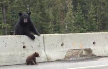 Camera Catches Rare Moment When Mama Bear Rushes To Save Baby Trapped On Highway