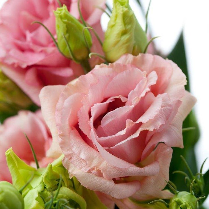 Evanthia Seeds&Plants  Lisianthus Stand Alone Peach Revelation.  Large Double flower with Salmon peach color.