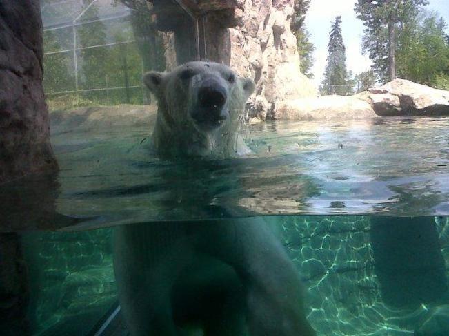 Ganuk at the Polar Bear Habitat in Cochrane, Ontario