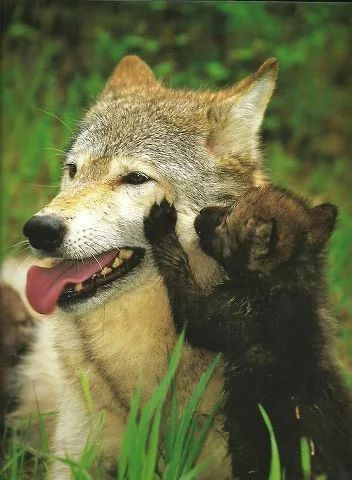 2208 best images about Wolves on Pinterest | Wolves, A ...
