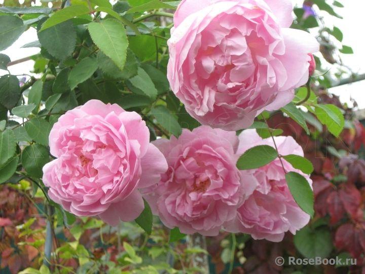 роза Mary Rose: 10 тыс изображений найдено в Яндекс.Картинках