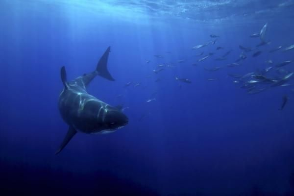 Long thought of as a terror of the shallowest waters, the great white shark is really one of the world's greatest migrants. Its movements cover thousands of miles of open ocean each year from Hawaii to northern Mexico to reach an abundant feast 150 miles off the coast of Guadalupe, Mexico.