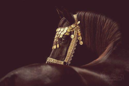 aygır güzeldir siyah at oryantal siyah at arap atı arap atı ve Siyah yönlendirmek