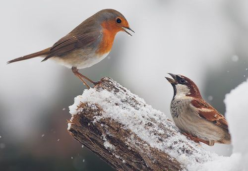 European robin and house sparrow - Photographer unknown