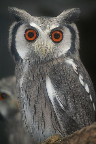 Southern White-faced Scops Owl - Ptilopsis granti. - Photo by Hilde Bakering - How cute, it looks like it has a mustache!