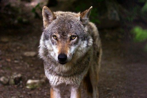 """Europas Wölfe"", National Geographic Wildlife, 23.05.2016, 19:25 Uhr - Sendung im TV-Programm - TV & Radio - rtv.de"