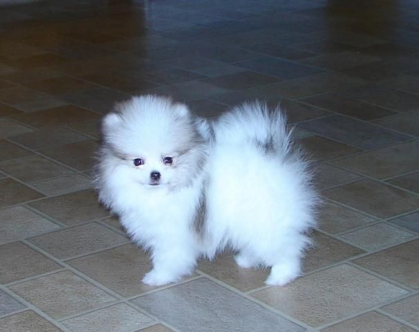 Pomeranian Dog | Teacup pomeranian puppies for sale
