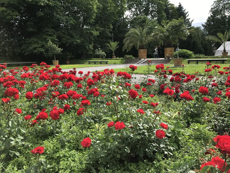Red #roses in Wilanów Park