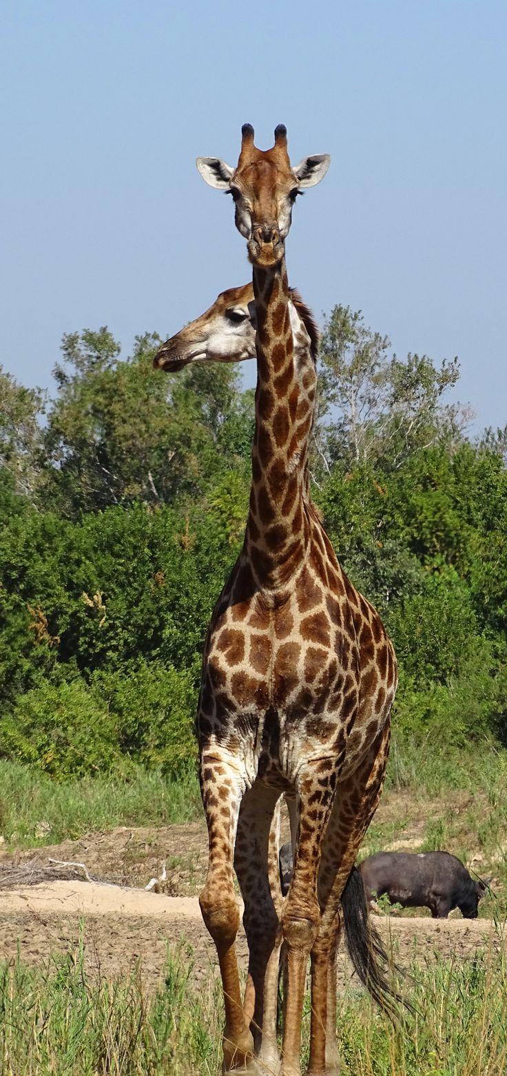 Two Headed Giraffes~ http://cindyknoke.com/2015/05/23/two-headed-giraffes/