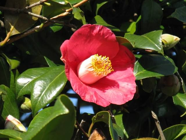 1月27日の誕生日の木は「ヤブツバキ(藪椿)」です。 ツバキ科ツバキ属の常緑高木です。原産地は日本。一般にツバキといったら、このヤブツバキを指すようです。北海道を除く日本全土に分布し、温帯林を代表する花木です。 ツバキの名前の由来は諸説あり、1. 光沢があるの意の古語「艶葉木(つやはき)」から。2. 葉に厚みがある意味の「厚葉木」から。3. 強い葉の木の意味の「強葉木」から。などなど。 現在使われている「椿」の文字は、日本で作られた国字(春に花咲く)で、中国では全く異なる樹木を指します。 「椿」の文字は万葉集で初めて登場します。古事記には「都婆岐(つばき)」、日本書紀には「海石榴(つばき)」の文字で登場します。
