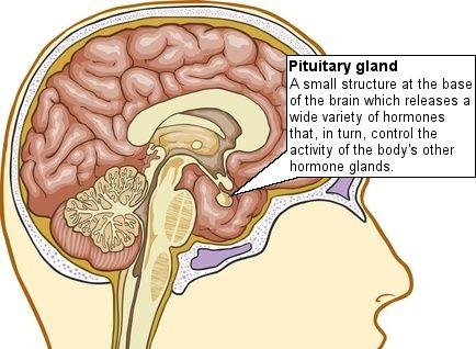 The pea-sized pituitary gland is a major endocrine gland that works under the control of the hypothalamus.