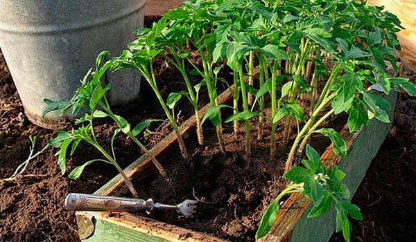 А я и не знала, что буквально пара капель йода может спасти помидоры от фитофторы и заставить раньше плодоносить!