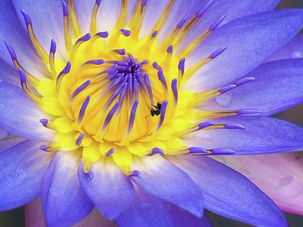 Purple lily flower, Australian?