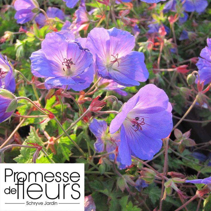 http://www.promessedefleurs.com/vivaces/vivaces-par-variete/geraniums-vivaces/geranium-vivace-azure-rush.html Géranium vivace Azure Rush, superbe et à retrouver dans l'ambiance Jardin des villes: http://www.promessedefleurs.com/ambiance/jardin-des-villes