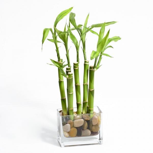 Como cultivar bambu da sorte. Apesar de ser chamado bambu, na verdade esta planta tão apreciada para decoração de interiores pertence à espécie Dracaena, família das Liliáceas, não se tratando portanto de um verdadeiro bambu. É or...