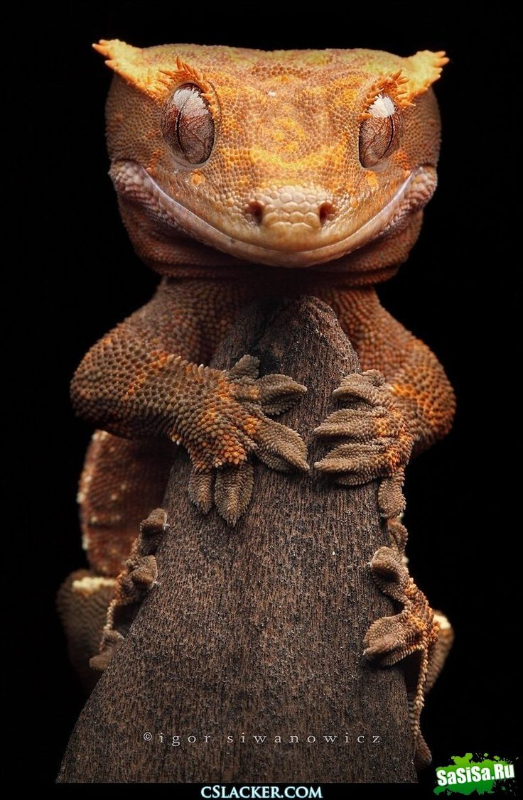 Listohvosty Madagascar gecko (satanic leaf tailed gecko) | Nature | Pinterest | Reptiles, Animals and Crested gecko