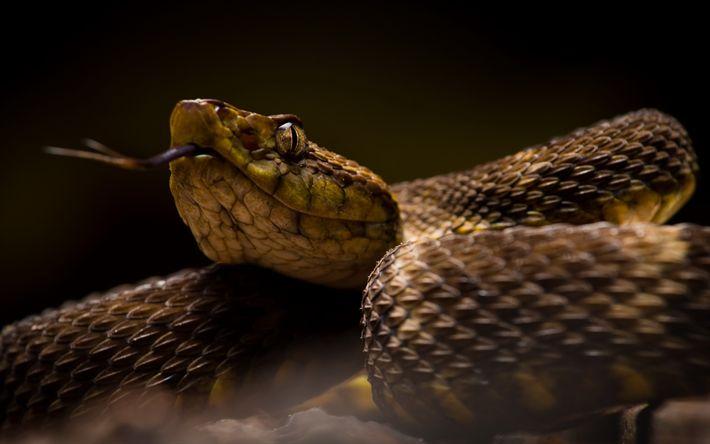 Descargar fondos de pantalla serpiente cobra, reptiles, animales peligrosos, ojos de serpiente
