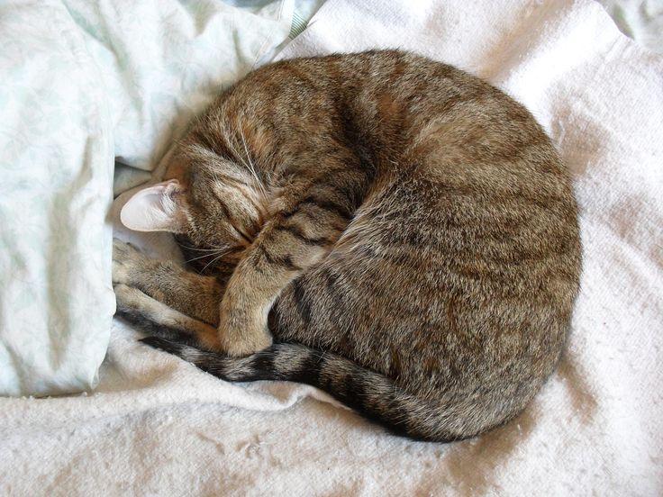Por qué los gatos se tapan la cara cuando duermen March 11 2018 at 09:15AM   Por qué los gatos se tapan la cara cuando duermen ℹ Por qué los gatos se tapan la cara cuando duermen? Alguna vez te has preguntado por qué lo hacen? Cuando los veas así te pueden dar muchas ganas de darles unos cuantos mimos. Y es que se ven tan tiernos! Hasta los más revoltosos parecen muy buenos cuando están durmiendo de esta manera. Pero si bien hay cosas que -todavía- no tienen explicación hay otras que sí la…