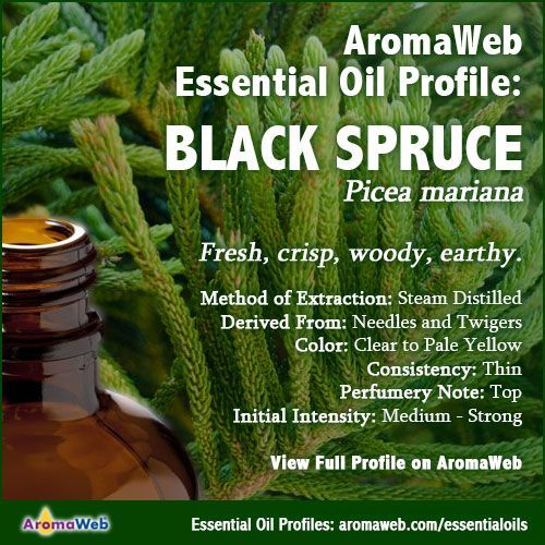 Black Spruce Essential Oil Profile | Essential Oils +