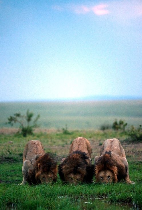 Lions. on your mark. get set. (wait for me to get out of the way) go!