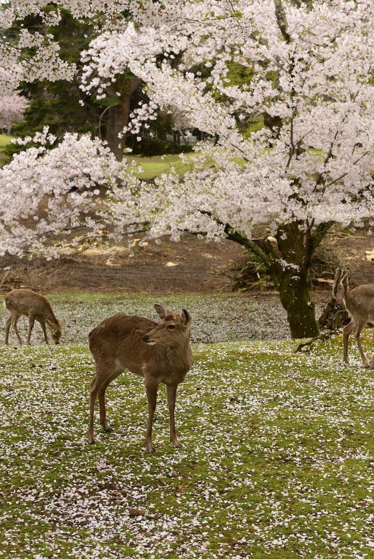 https://flic.kr/p/RKQf15   Japan2015_408   Sakura and Deer in the garden of Todai-ji(東大寺),. Nara, Japan