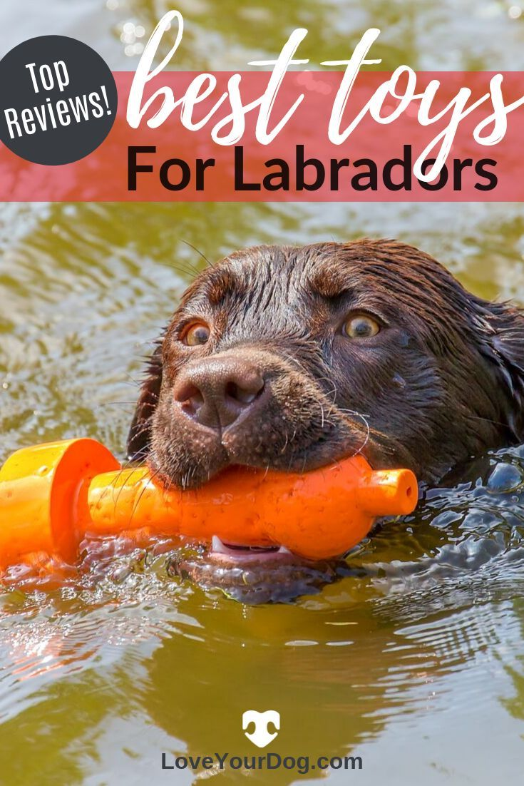 Best Dog Toys For Labrador Retrievers In 2019 Ratings Reviews