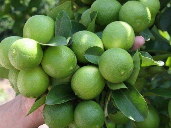 """Los elevados precios a los que ha llegado el limón en México,han obligado a muchos a reconsiderar la idea de cultivar sus propios vegetales. Quizá en un futuro sea un opción mucho más viable para las familias.Si bien es cierto que los limones no saldrán de un día para otro, es una """"inversión"""" a largo …"""