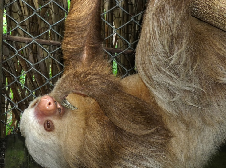 You can find Marilyn the cutest little Sloth, at the Campo del Mar Nature Park and rehab centre in Trujillo, Honduras. She only eats once per week.  (Photo credit: Jim Milne)