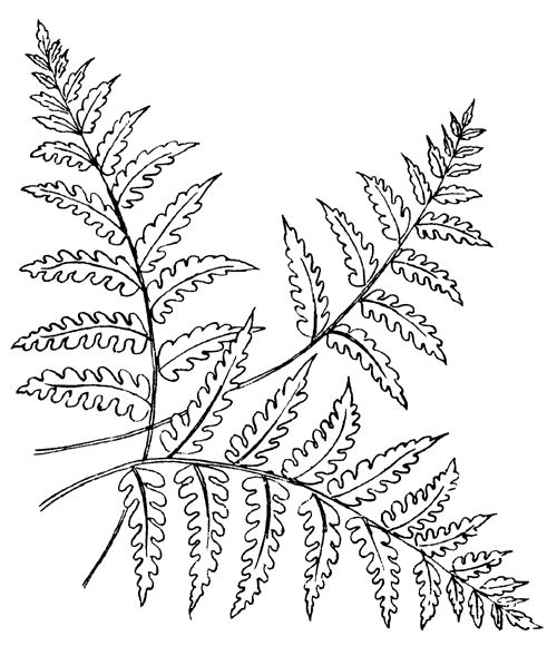 fern coloring pages - photo#2