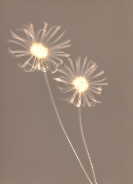 lumen print by Balazs Sprenc #darkroom #alternateprocess #analoguephotography
