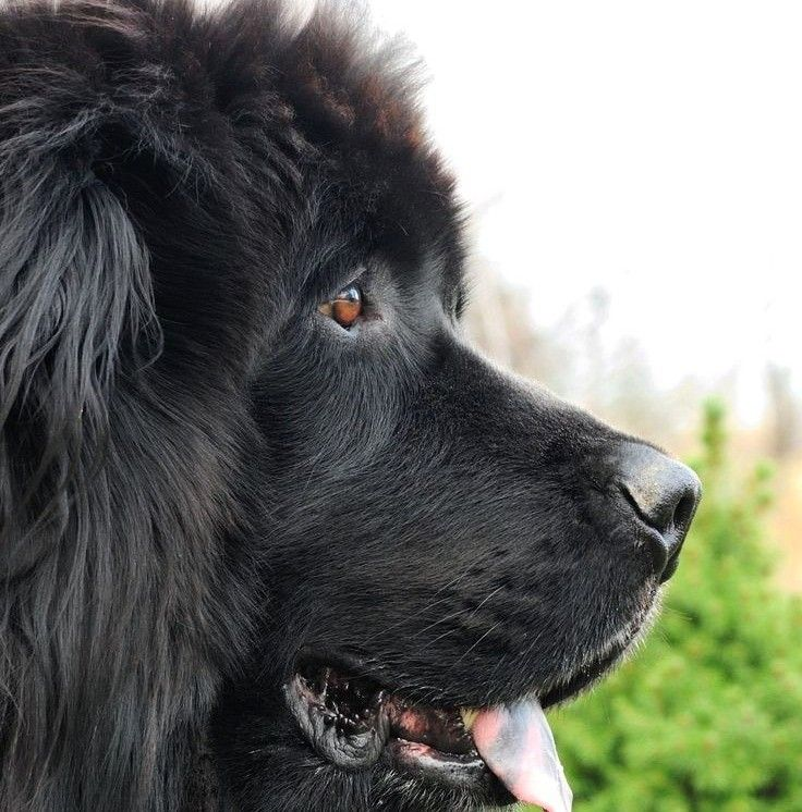 Newfoundland Dogs Puppies Cute Animals Dogs