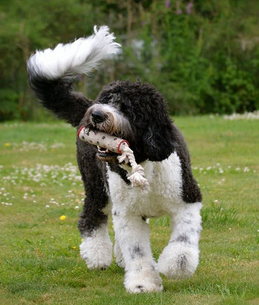 someone please get me a St. Berdoodle!