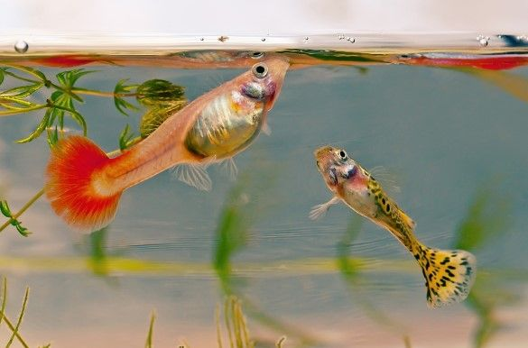About Guppy 5 Fundamentals Of Guppy Care Guppi
