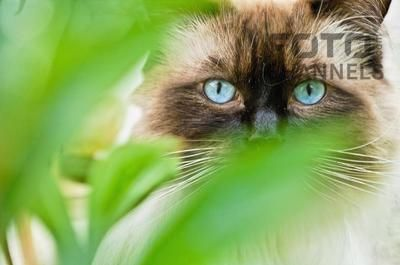Fotochannels - cat with blue eyes